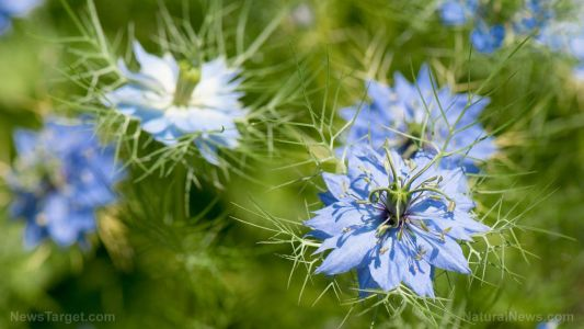 Exploring the anti-parasitic properties of fennel flower