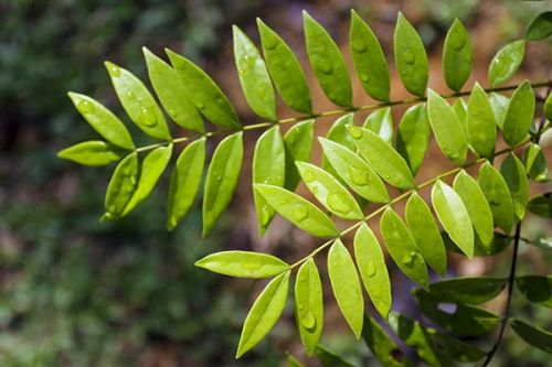 How can this Southeast Asian shrub prevent bone-erosive diseases like osteoporosis?