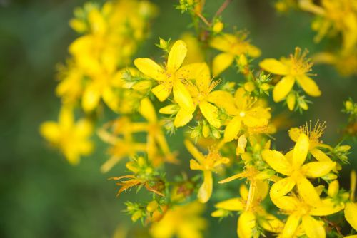 RCT supports efficacy of St John's wort for postmenopausal symptoms and depression