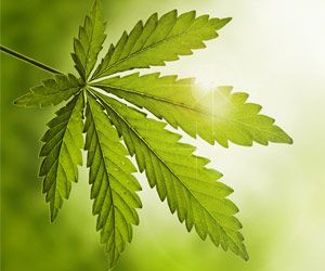 Cannabis Flower is an Effective Mid-level Analgesic Medication: Says Study