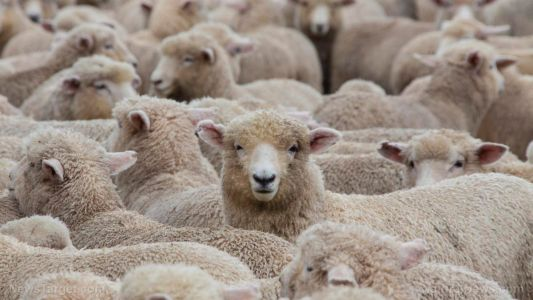Boston Dynamics unveils robot dog that herds sheep, enforces social distancing. just in time for SHEEPLE lockdown enforcement