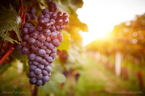 Good for the lungs, too: Resveratrol found to reduce pulmonary toxicity