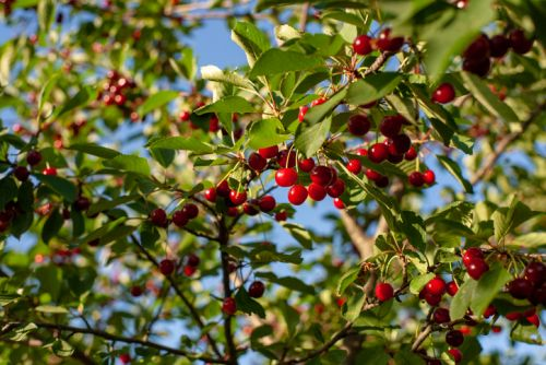 Supplier debuts concentrated acerola extract with high level of 'natural' vitamin C