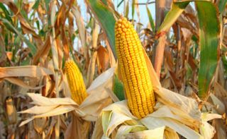 Researchers develop screening method to find mycotoxins in raw wheat