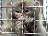 Laboratory monkeys are infected with a lethal coronavirus in vaccine hunt