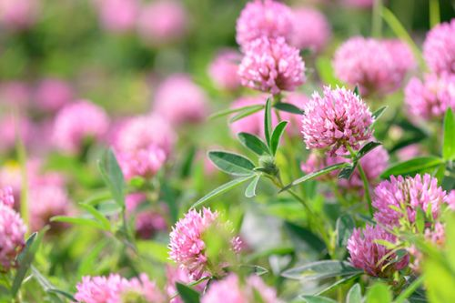 Natural remedies for osteoporosis: What are the science-based health benefits of red clover?