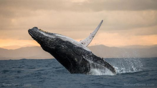 """North Atlantic right whales """"whisper"""" to protect young calves from predators"""