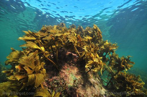 Compound found in brown algae and sea cucumber found to inhibit formation of skin cancer and promote cancer cell death