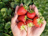 Strawberries could treat bowel disease, reduce diarrhoea and weight loss
