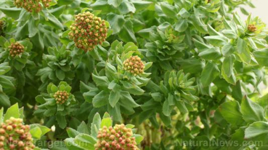 Reducing burnout and stress symptoms with rhodiola